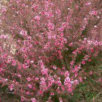 Tea Tree Leptospermum