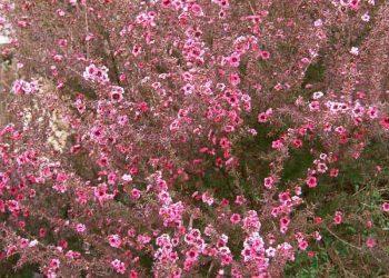 Tea Tree Leptospermum