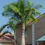 Majesty Palm Tree, Ravenea rivularis