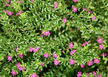 Mexican False Heather shrub with pink flowers
