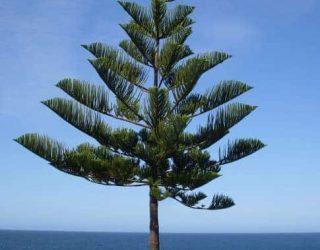 NorfolkIslandPineTree Araucariaheterophylla