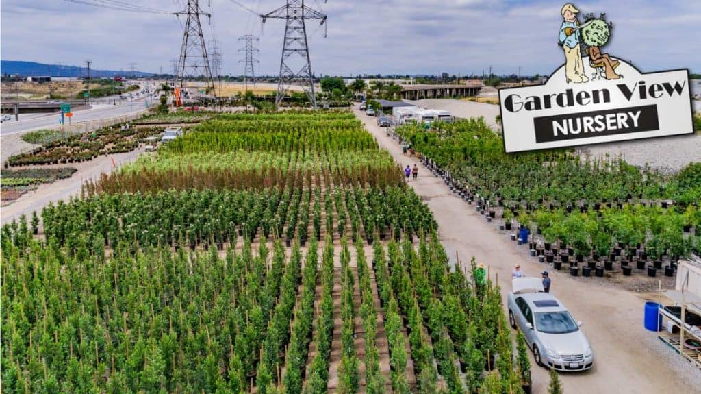 Ficus Nitida Row