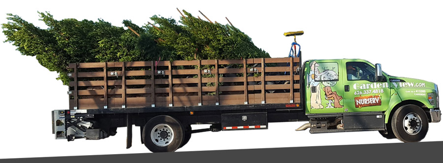 Nursery Delivery truck loaded with Ficus nitidas
