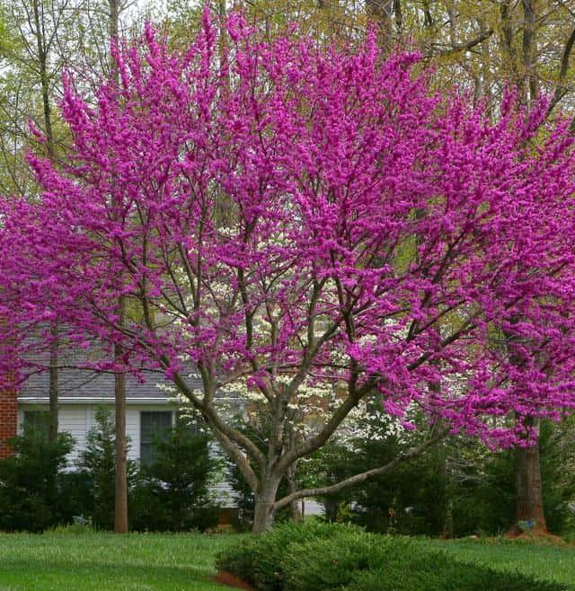 Oklahoma Redbud Tree - Cercis reniformis