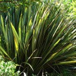 Green New Zealand Flax - Phormium tenax