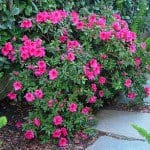 Azalea shrub