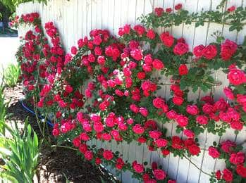 Pink Climbing roses growing along white fence