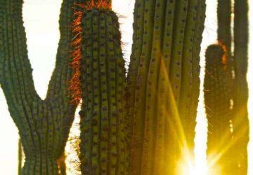 Pipe Organ Cactus with Sun Peaking Through