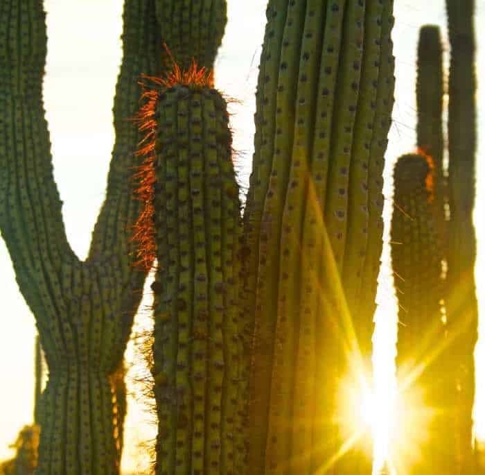 Pipe Organ Cactus with Sun Peaking Through