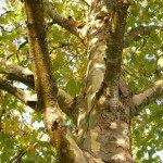 Platanus acerifolia 'Bloodgood' London Plane Tree trunk