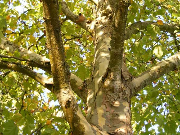Platanus acerifolia 'Bloodgood' London Plane Tree trunk