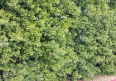 Podocarpus gracilior hedge in parking lot