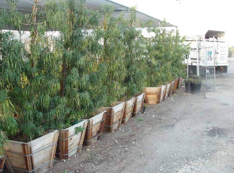 row of twenty four inch boxed podocarpus henkelii hedges