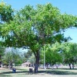 Poplar tree in a park