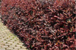 purple hopseed hedge example