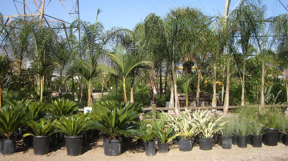 Rows of Queen and Sago Palms