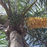 Queen Palm seeds to cut off this month
