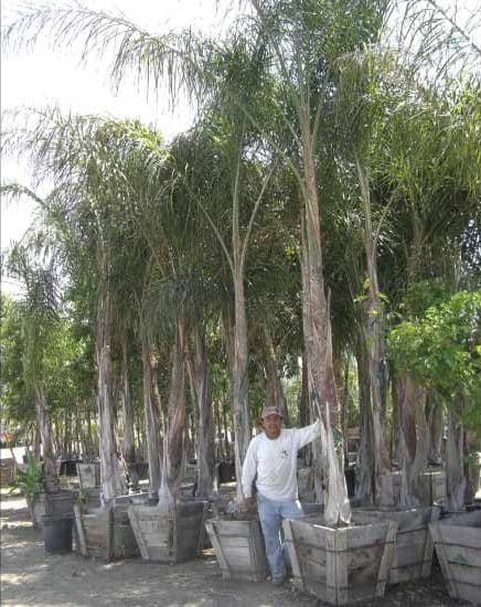 Large Queen Palm trees in twenty four inchboxes