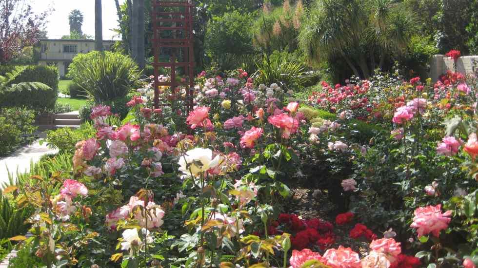 Rose garden various varieties