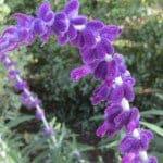 Salvia leucantha flowers