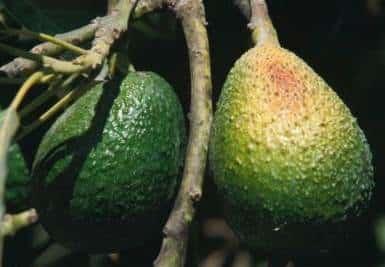 sun scorched avocado fruit