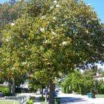 Southern Magnolia Tree - Magnolia grandiflora