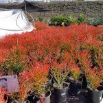 sticks on fire at Garden View Nursery in 5 Gallon pots