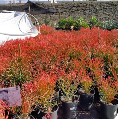 sticks on fire at Garden View Nursery in five Gallon pots