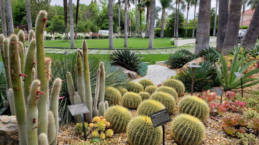 Succulents in Pasadena Estate Garden - Golden Barrel and Silver Torch cacti