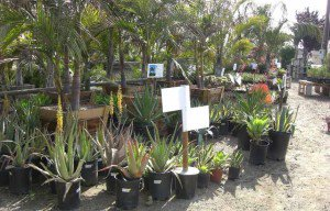 agaves and palm trees