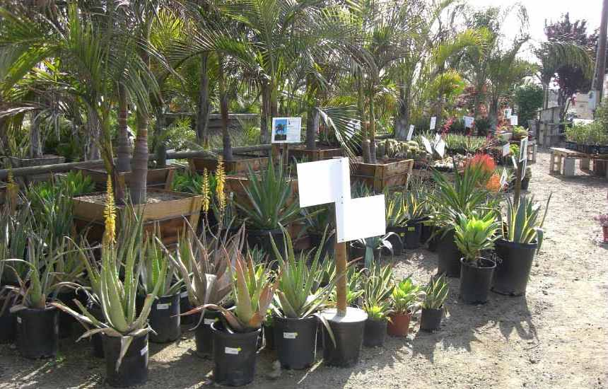 agaves and palm trees for sale