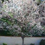 texas white redbud tree