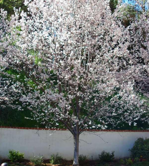 Texas White Redbud Trees Garden View Landscape Nursery