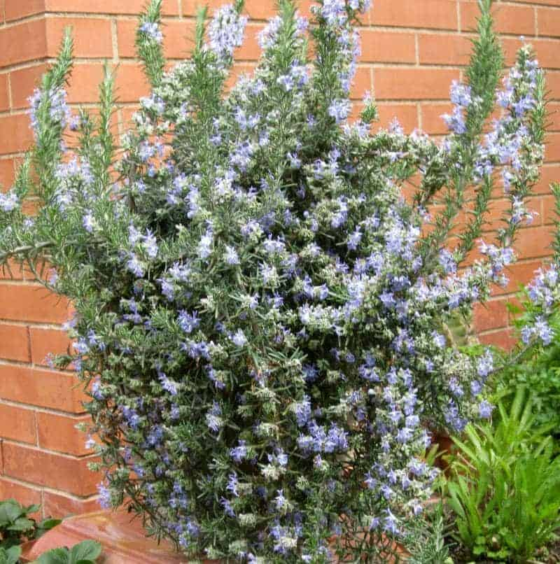 Upright Rosemary shrub