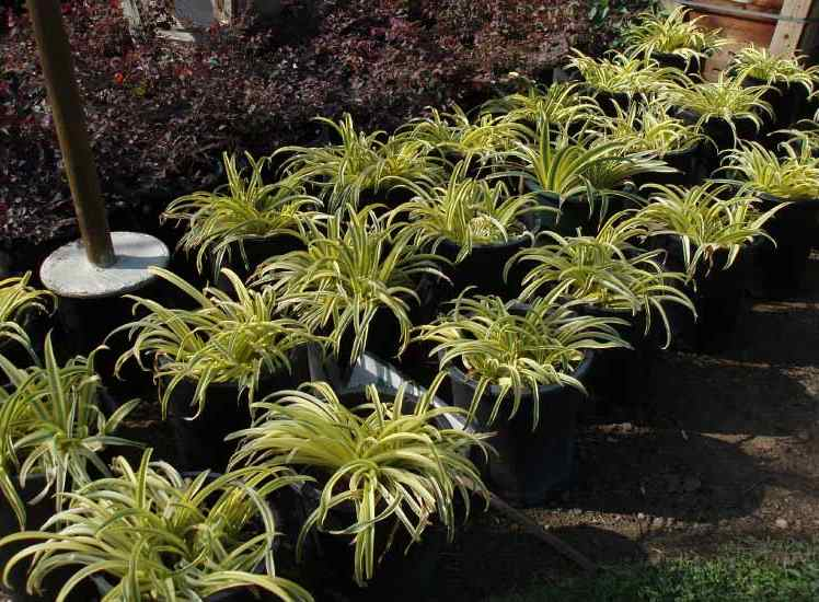 VariegatedGallonLiriopeplants