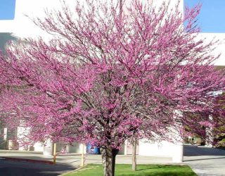 Cercis occidentalis WesternRedbud tree with pink flowers