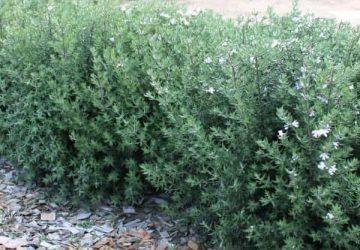 Westringia fruticosa Australian Coast Rosemary