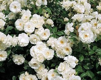 White Iceberg Roses on shrub
