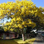 Yellow Trumpet Tree - Tabebuia