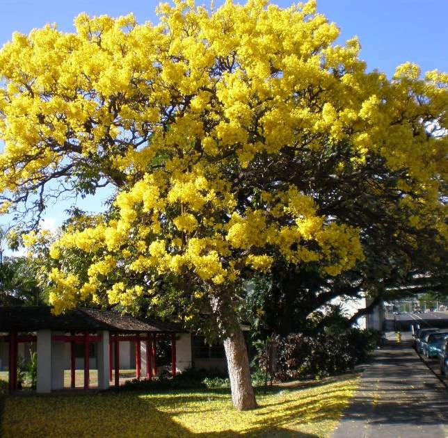 Yellow trumpet trees garden view landscape nursery pools yellowtrumpettree tabebuia mightylinksfo